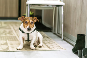dog jack russell terrier is sitting on the mat in the hallway, wants to walk