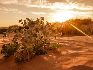 the desert thorns at sunset. desert plants and red sun.