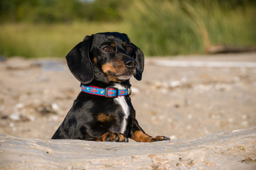 Dachshund stands with paws on driftwood