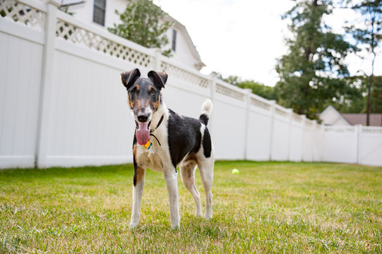 Happy Smooth Fox Terrier in backyard
