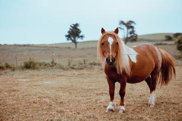 Horse grazing in dry field