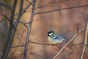 Wall Murals Northern Europe Great blue tit bird sitting on the stick in the tree in forest in Czech Republic Europe in the spring sunset, example of the common wild sing birds in european nature.
