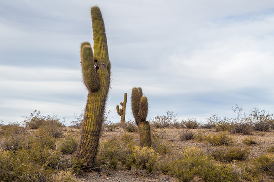 Three giant cactus in a desert with a blue sky in Argentina