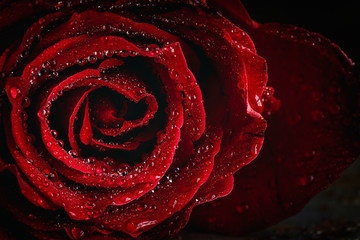 Red roses with dark background, Valentine's Day.