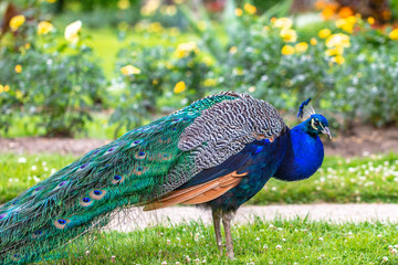 Peacock with a beautiful wings at a profile view in a garden.