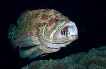 Amazing underwater world - Cleaning station. Coral Grouper - Cephalopholis miniata + Clear cleaner shrimp - Urocaridella antonbruunii.