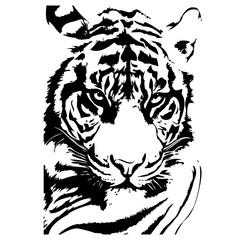 Tiger vector illustration hand drawn