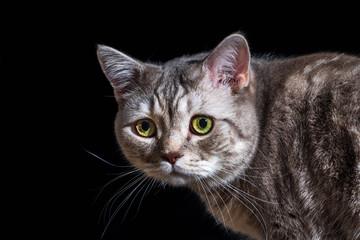 Close-up domestic cat of scottish breed