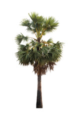 Sugar palm trees isolated on white background.