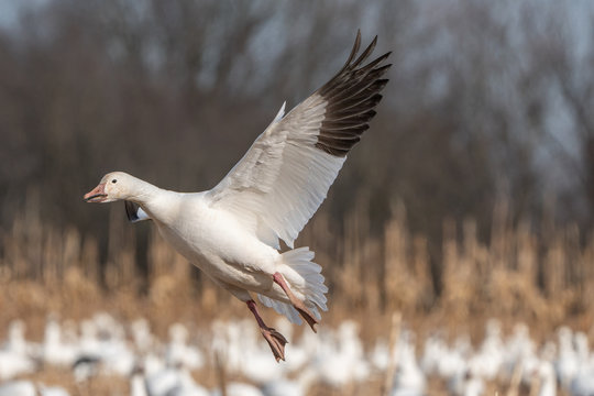 Snow goose (Chen caerulescens) coming in for a landing.