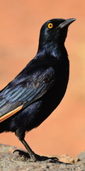 red winged starling,picture ratio 2:1 for mobile phone