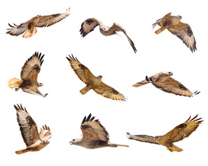Set of Buzzard in flight isolated on white. Buteo rufinus