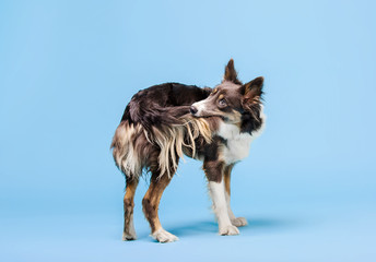 Border Collie dog in the photo studio on the blue background