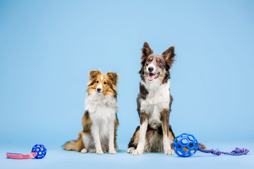 Border Collie dog and Shetland Sheepdog dog in the photo studio on the blue background