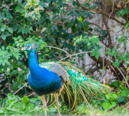 Indian Peacock or Blue Peacock, ( Pavo cristatus ), facing camera and showing blue feathers on neck and upper body and and crest and eye visible