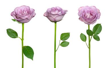 Tender lilac roses