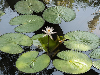 pond flower in shri Lanka