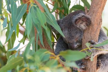 Koala schläft im Eucapytusbaum