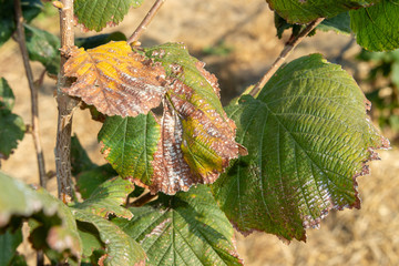 Hazelnut leaves are damaged by parasites and rot diseases. Pests and hazelnut garden protection concept