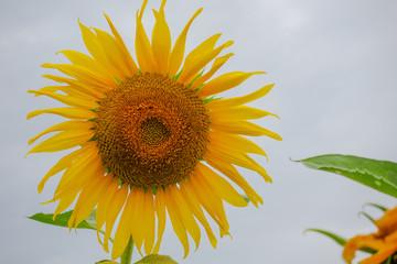 Sunflower in farm
