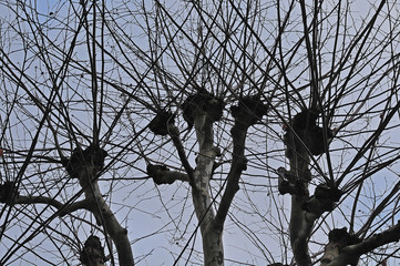 canopy of a bare plane tree in winter