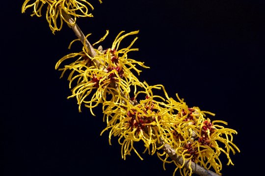 Black background and a yellow flowers witch hazel blooming in early spring.