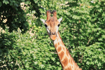 Photo of a giraffe's head in the face with a cute expression of the muzzle close-up on a long neck against the background of green trees in the zoo