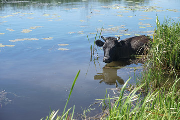 Cow in the water is saved from the heat. animal in the wild. Stock background, photo