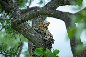 Wall Murals Leopard A young male leopard resting in the fork of a Marula tree late in the afternoon
