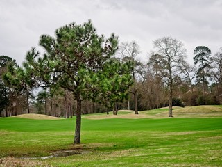 Pine Tree in Golf Course