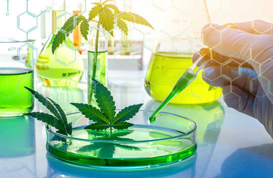 Scientific research of medical cannabis for use in medicine, biotechnology concept