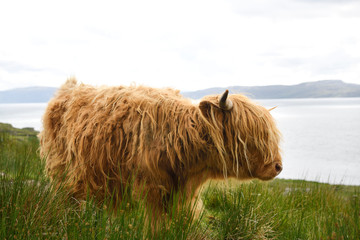 Shaggy red Highland cattle North of Applecross on the Inner Sound across from Isle of Skye Scottish Highlands Scotland UK