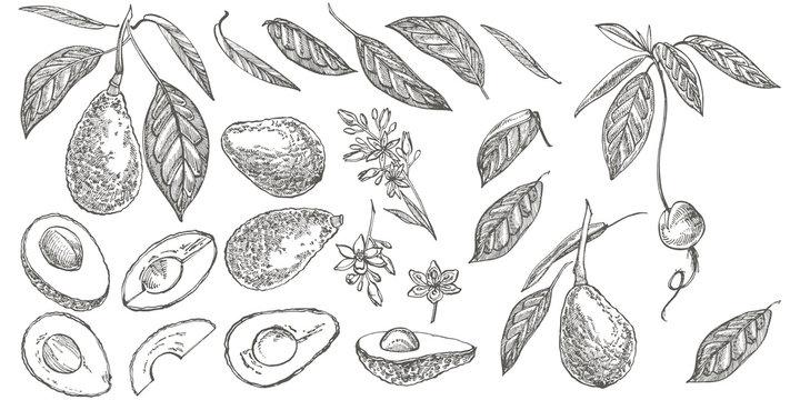 Avocado. Hand drawn illustrations. Tropical summer fruit engraved style illustration.