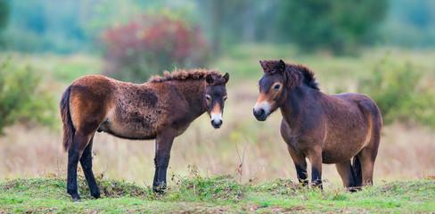 exmoor ponies in the landscape