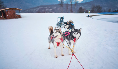 husky winter in the mountains