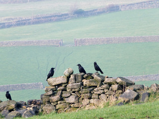 four crows perched on an old stone wall in a field with green hillside meadows and gates in the distance