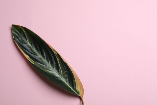 Leaf of tropical stromanthe plant on color background, top view with space for text