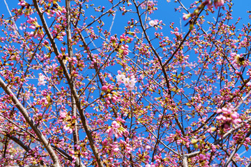 Cherry Trees blooming in early spring on beautiful day, Blue Sky, Background
