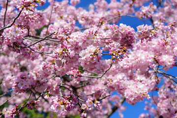 Close up of cherry fully bloom, backgrounds