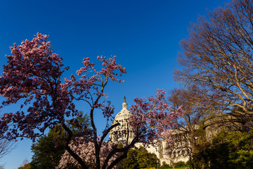 Capitol Building against blue sky with Magnolia blossom in foreground, Washington DC, USA