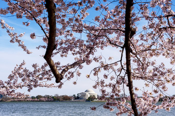 The Jefferson Memorial during the Cherry Blossom Festival, Washington DC