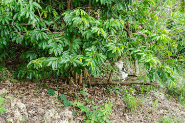 Cat Standing On Soursop Horizontal Branch