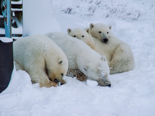 Family of polar bears on Wrangel Island
