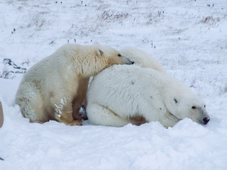 Wall Murals Polar bear Family of polar bears on Wrangel Island