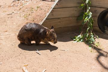 Australischer Wombat auf dem Weg in den Schatten