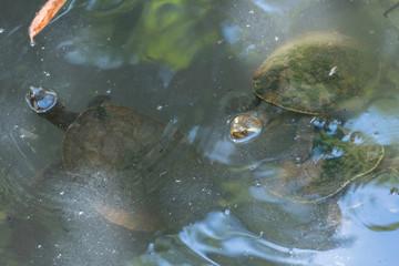 Wasserschildkröten schauen mit dem Kopf aus dem Wasser
