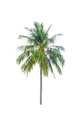 coconut tree beautiful on white background