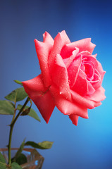 Pink rose on a blue background.