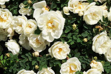 A blooming bush of white roses. Festive floral background. White Rose. Copy space.