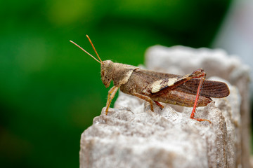 Image of Brown grasshopper (Apalacris varicornis) on stump. Insect. Animal.